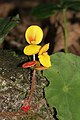 Begonia mildbraedii (Begoniaceae) (24361947221).jpg