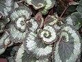 Begonia rex Escargot - JBM.jpg