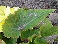 Begonia tuberhybrida 0.2 R.jpg