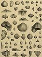 Beiträge zur Paläontologie und Geologie Österreich-Ungarns und des Orients - Mitteilungen des Geologischen und Paläontologischen Institutes der Universität Wien (1898-1900) (19742847333).jpg