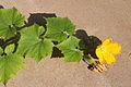 Benincasa pruriens in Guangfeng 2012.10.27 13-04-26.jpg