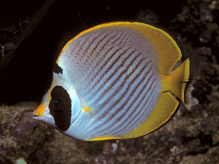Philippine butterflyfish species of fish