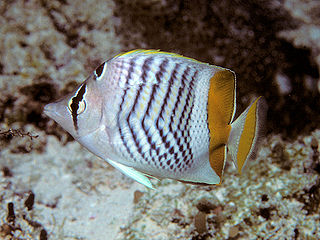 Seychelles butterflyfish species of fish