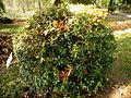 Berberis gagnepainii (3).JPG