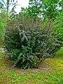 Berberis vulgaris 'Atropurpurea' 001.JPG