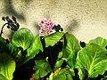 Bergenia crassifolia 2.jpg