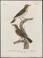 Bessonornis auraticollis - 1796-1808 - Print - Iconographia Zoologica - Special Collections University of Amsterdam - UBA01 IZ16300359.tif