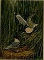 Bird lore (1910) (14755488445).jpg