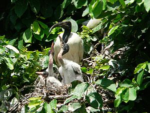 Bird family in Ranganathittu Bird Sanctuary in...