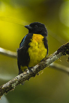 Black-and-gold Tanager - Colombia S4E3216 (22957649430).jpg