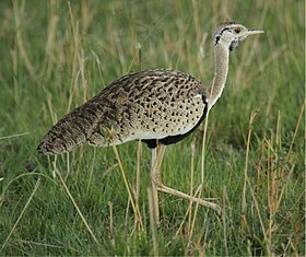 Black-bellied Bustard.jpg