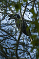 Black-casqued Hornbill - Uganda H8O5782 (16407562582).jpg