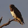 Black-chested snake eagle, Circaetus pectoralis, at Rietvlei at sunset (37871572235).jpg