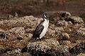 Black-faced Cormorant (24018014909).jpg