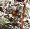 Black-headed Grosbeak. Male. Pheuticus melanocephalus - Flickr - gailhampshire.jpg