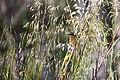 Black-headed grosbeak (48075806408).jpg