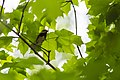 Black-throated green warbler (28152872088).jpg