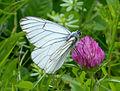 Black-veined White. Aporia crataegi. Male (15533588974).jpg