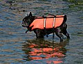 Black French bulldog in life jacket.jpg