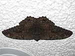 Black Witch Moth.jpg