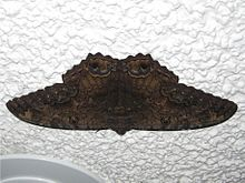 A picture of a Black Witch Moth.