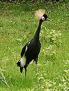 Black crowned crane in zoo tierpark friedrichsfelde berlin germany