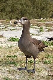 Black footed albatross1.jpg