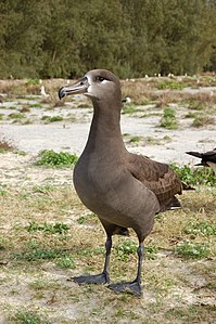 Black footed albatross1.jpg