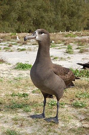 Black-footed albatross - Image: Black footed albatross 1