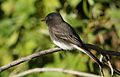 Black phoebe, Sayornis nigricans, along the Guadalupe River in Santa Clara, California, USA (22777370438).jpg