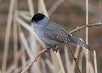 Blackcap - sylvia atricapilla by Tony Smith (small).jpg