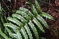 Blechnum novae-zelandiae in Aoraki Mount Cook NP 02.jpg