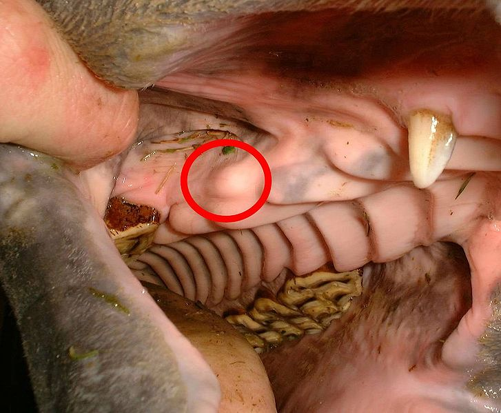 File:Blind wolf tooth in horse.jpg