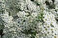 Blommande buske (8758950924).jpg