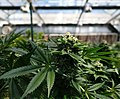 Blooming cannabis plant by My 420 Tours.jpg