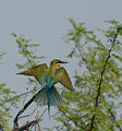 Blue-tailed Bee-eater Kolleru.jpg