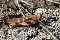 Blue-winged Grasshopper - Oedipoda caerulescens (20419992353).jpg