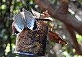 Blue Oakleaf and Great Eggfly by Dr. Raju Kasambe DSCN7988 (4).jpg