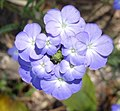 Blue flowers - Ribaue (9696502315).jpg