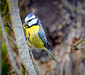 Blue tit parent (17852007312).jpg