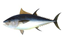 Illustration of adult bluefin
