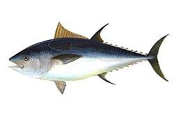 Atún de aleta azul norteño (Thunnus thynnus)