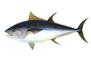 Pelagic fish - Large epipelagic predator fish, like this Atlantic bluefin tuna, have a deeply forked tail and a smooth body shaped like a spindle tapered at both ends and countershaded with silvery colours.