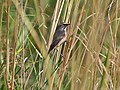 Bluethroat I4 IMG 5409.jpg
