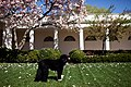 Bo, the Obama family dog, stands in the Rose Garden, 2010.jpg