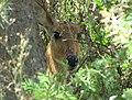 Bohor Reedbuck in the reeds Serengeti.jpg