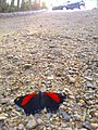 Borboleta preta e vermelha.jpg