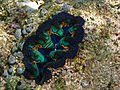 Boring giant clam.jpg
