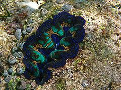 boring clam wikipedia