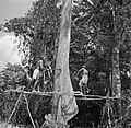 Boslandcreolen bezig met het omzagen van een boom, Bestanddeelnr 252-4872.jpg